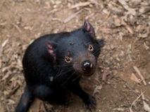 Tasmanian Devil Royalty Free Stock Image