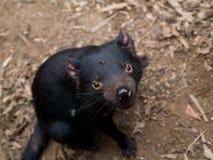 Tasmanian Devil. Sarcophilus Harrisii, the Tasmanian Devil. On location in Tasmania royalty free stock image