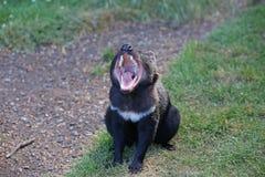 Tasmanian Devil. (Sarcophilus harrisii) yawning in Tasmania. Australia royalty free stock images