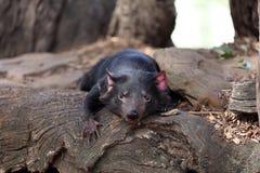 Tasmanian Devil. (Sarcophilus harrisii) in Tasmania. Australia royalty free stock photos