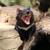 Tasmanian Devil. (Sarcophilus harrisii) yawning in Tasmania. Australia royalty free stock image