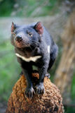 Tasmanian Devil Royalty Free Stock Images