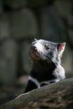 Tasmanian Devil. Photoed in Tasmainia, Australia stock image