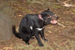 Tasmanian Devil. Photograph of a Tasmanian Devil, Tasmania, Australia royalty free stock photos
