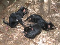 Tasmanian Devil. Photograph of a Tasmanian Devil, Tasmania, Australia stock photos