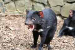 Tasmanian Devil. A cute Tasmanian Devil in an aggressive / defensive stance. Location: Tasmania, Australia Royalty Free Stock Photography