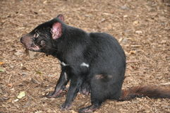 Tasmanian Devil. A sitting Tasmanian Devil. Location: Tasmania, Australia stock images