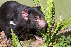 Tasmanian Devil. Moving through Sword Fern Branches. Australian Native Animal stock image