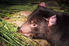 Tasmanian Devil. Moving through Sword Fern Branches. Australian Native Nocturnal Animal Stock Photography