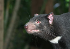Tasmanian Devil. A rat like Tasmanian Devil animal which is native to Australia Stock Images