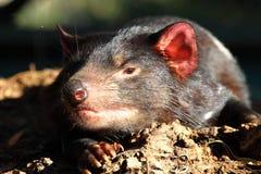 Tasmanian Devil in Australia. Tasmanian Devil in zoo garden in Australia stock image