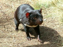 The Tasmanian Devil. A carnivorous marsupial found in Tasmania, and becoming extinct on the mainland about 400 thousand years ago - according to fossil royalty free stock photos