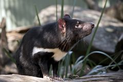 A Tasmanian Devil. This is a close up of a Tasmanian Devil stock photography