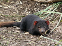 Tasmanian Devil Stock Photos