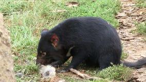 Tasmania devil eating Kangaroo. Tasmanian devil close up chewing on skin of Kangaroo stock footage