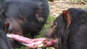 Tasmania devil fighting over meat. Tasmanian devil close up chewing on skin of Kangaroo stock footage