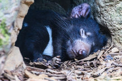 Tasmanian Devil. Close up of a sleeping Tasmanian Devil at the mouth of its den royalty free stock photo