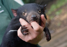 Tasmanian Devil comforted by sucking human finger Stock Images