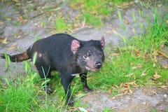 Tasmanian Devil. Curious Tasmanian devil in Tasmania, Australia stock photography