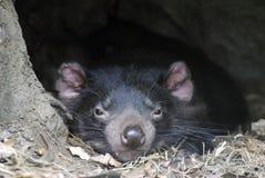 Tasmanian devil. Tasmanian devil dozing away on a lazy afternoon stock photo