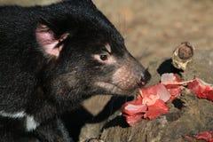 Tasmanian Devil Eating Royalty Free Stock Photo