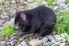 Tasmanian devil eating food while sitting on rocks stock photo