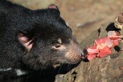 Tasmanian Devil Eating royalty free stock image