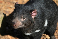 Tasmanian Devil Stock Photo
