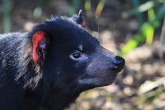 Tasmanian Devil Face stock image