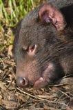 Tasmanian devil face Stock Photo