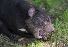Tasmanian devil royalty free stock photos