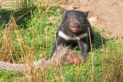 Tasmanian Devil Feeding royalty free stock photography
