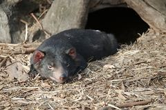 Tasmanian Devil on the ground. Tasmanian devil on relaxing on the ground stock images