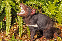 Tasmanian Devil growling. Native Australian animal and is an endangered species. Sarcophilus harrisii Stock Images