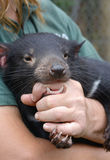 Tasmanian Devil held by keeper, protected, comforted Royalty Free Stock Images