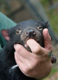 Tasmanian Devil held by keeper, protected, comforted stock photo