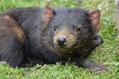 Tasmanian Devil lying down Royalty Free Stock Image