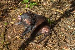 Tasmanian Devil lying Stock Image