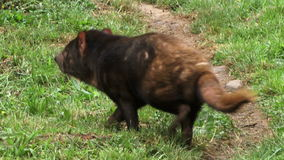 Tasmania devil moving around. Tasmanian devil moving and sniffing the air stock video footage