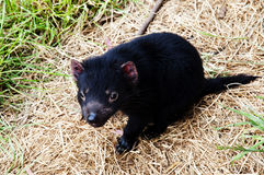 Tasmanian devil offspring Stock Photos