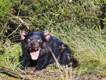 Tasmanian Devil 02 Open Mouth Royalty Free Stock Image