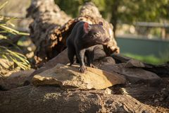 Tasmanian Devil outside during the day in Tasmania. Tasmanian Devil outside during the day in Hobart, Tasmania stock images