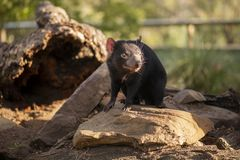 Tasmanian Devil outside during the day in Tasmania. Tasmanian Devil outside during the day in Hobart, Tasmania royalty free stock photos