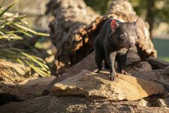 Tasmanian Devil outside during the day in Tasmania. Tasmanian Devil outside during the day in Hobart, Tasmania stock photo