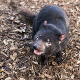 Tasmanian Devil outside during the day in Tasmania. Tasmanian Devil outside during the day in Hobart, Tasmania royalty free stock images