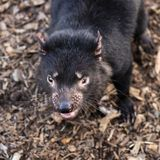 Tasmanian Devil outside during the day in Tasmania. Tasmanian Devil outside during the day in Hobart, Tasmania royalty free stock image