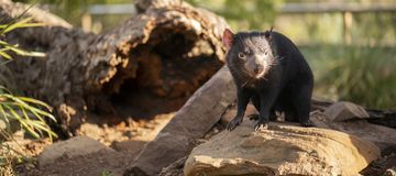 Tasmanian Devil outside during the day in Tasmania. Tasmanian Devil outside during the day in Hobart, Tasmania royalty free stock photo