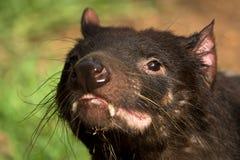 Tasmanian devil portrait. Sarcophilus harrisii, Australia, Tasmania royalty free stock photos