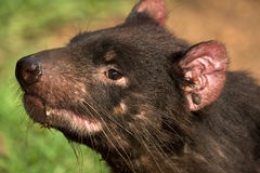 Tasmanian devil portrait Stock Photography