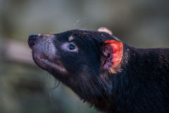 Tasmanian devil with a red ear Royalty Free Stock Photos